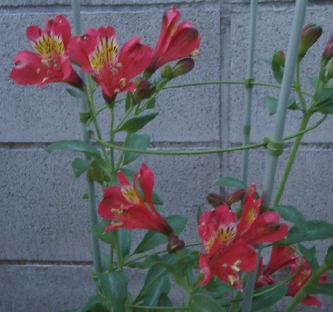 Alstroemeria-Red_Star2-2017.jpg