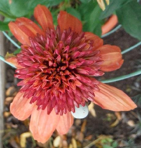 Echinacea_Eccentric5-2017.jpg
