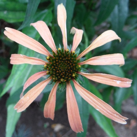 Echinacea_paradiso_orange1-2017.jpg