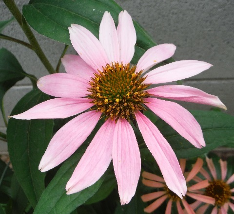 Echinacea_paradiso_pink1-2017.jpg