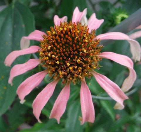Echinacea_paradiso_pink2-2017.jpg