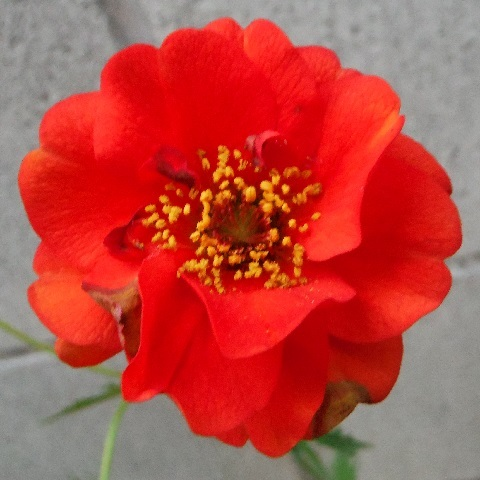 Geum-Blazing_Sunset3-2017.jpg