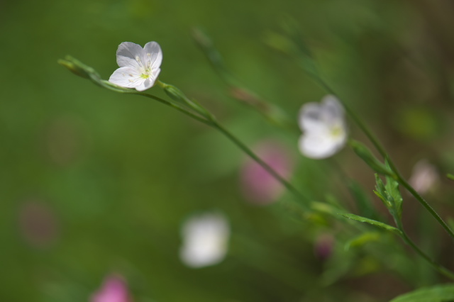 アカバナユウゲショウ (赤花夕化粧) の白花-02