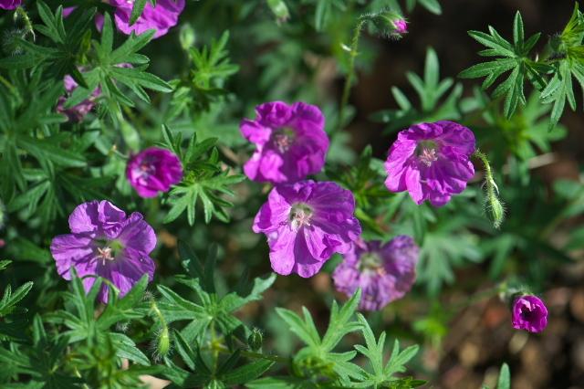 アケボノフウロ(Geranium sanguineum)-01
