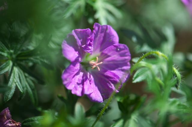 アケボノフウロ(Geranium sanguineum)-02