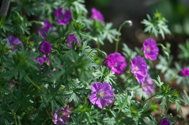 アケボノフウロ(Geranium sanguineum)-03