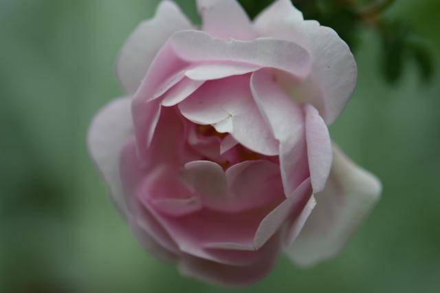 Burnet Double Pink-04