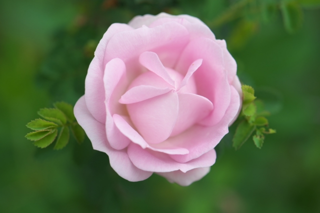 Burnet Double Pink-03