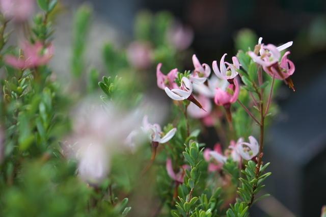クランベリーの花弁-04