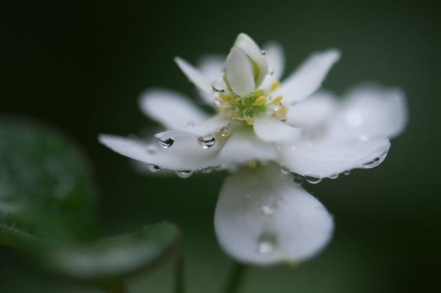 八重咲きのドクダミ-05