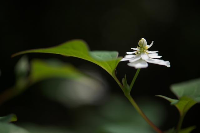 八重咲きのドクダミ-02