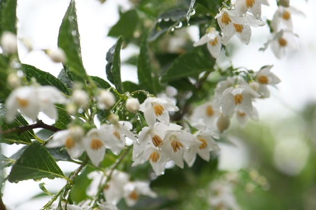 エゴノキの花-01