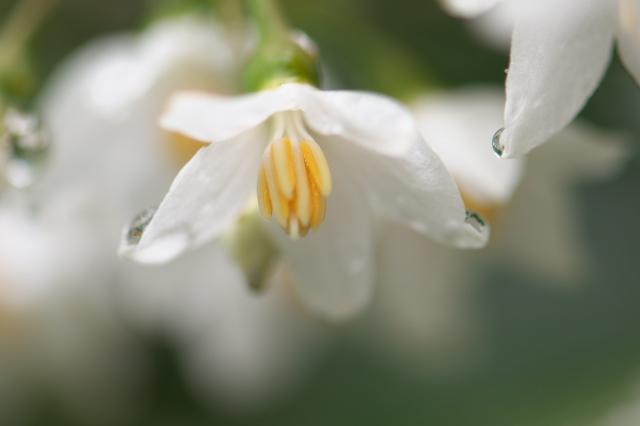 エゴノキの花-05