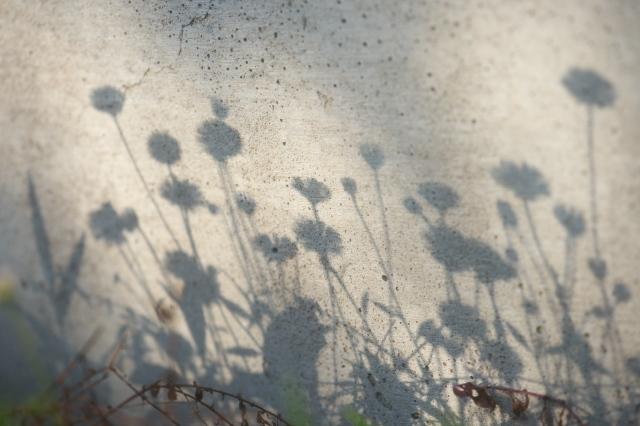 Erigeron 'Karvinskianus' 影絵