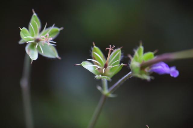 Geranium maculatum Elizabeth Ann-03