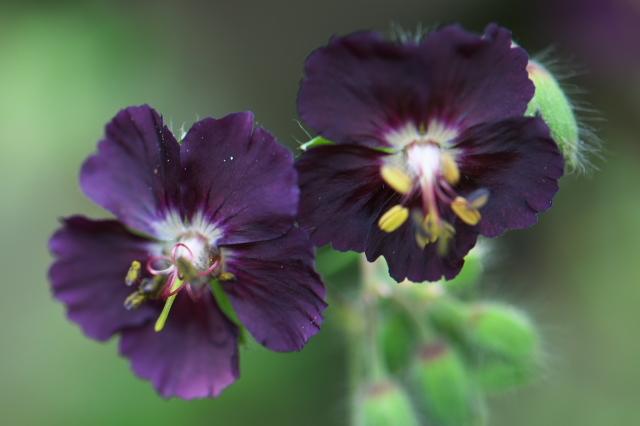 Geranium phaeum-01