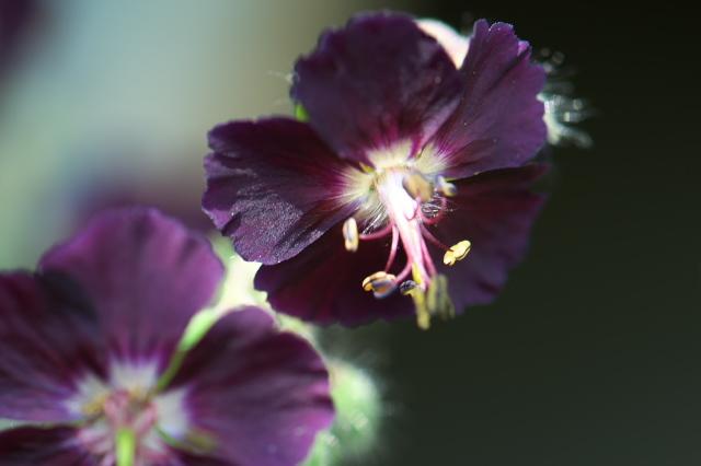 Geranium phaeum-03