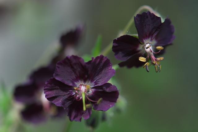 Geranium phaeum-04