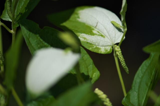 ハンゲショウの白色変化-04