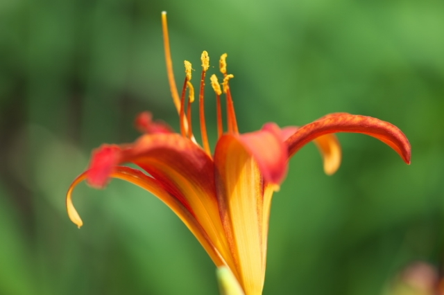 Hemerocallis Citation-05
