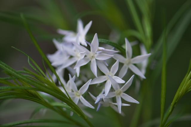 細葉チョウジソウ(Amsonia angustifolia)-02