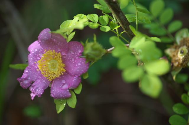 Rosa roxburghii normalis-01
