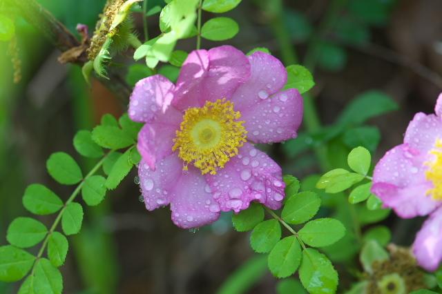 Rosa roxburghii normalis-03
