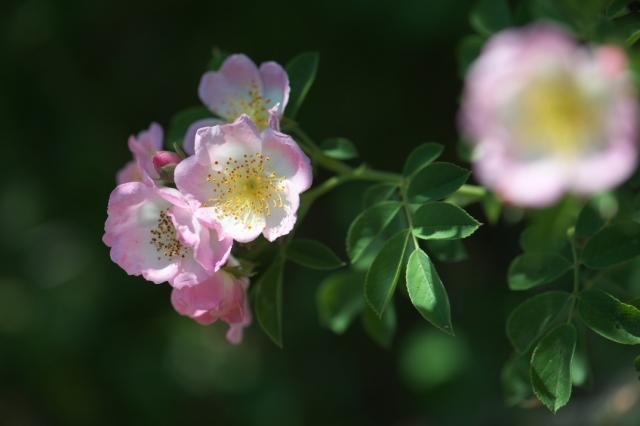Kew Rambler-03