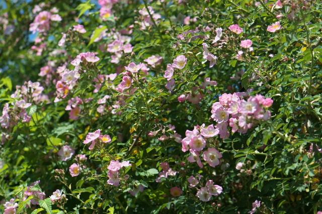 Kew Rambler-04