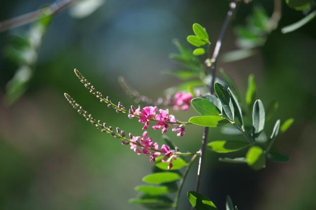 コマツナギ( Indigofera pseudotinctoria)-02