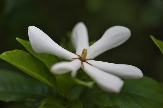 一重のクチナシの花-06