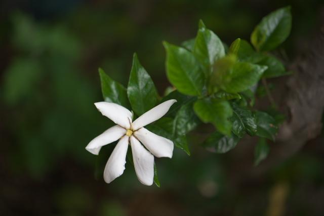 一重のクチナシの花-05