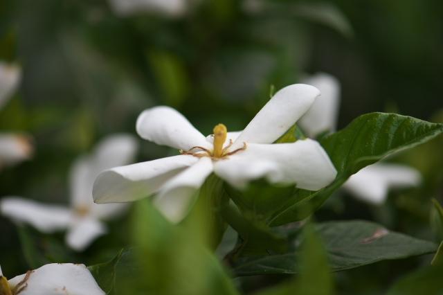一重のクチナシの花-02