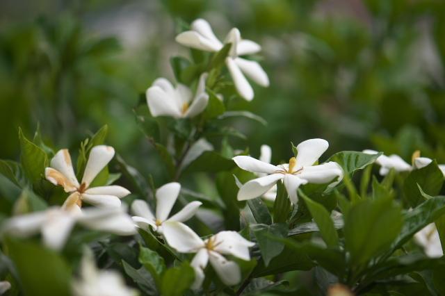 一重のクチナシの花-04