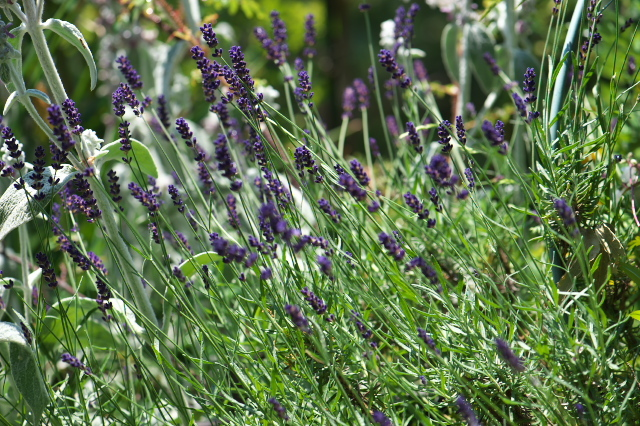 Lavandula angustifolia 'Long Purple'-01