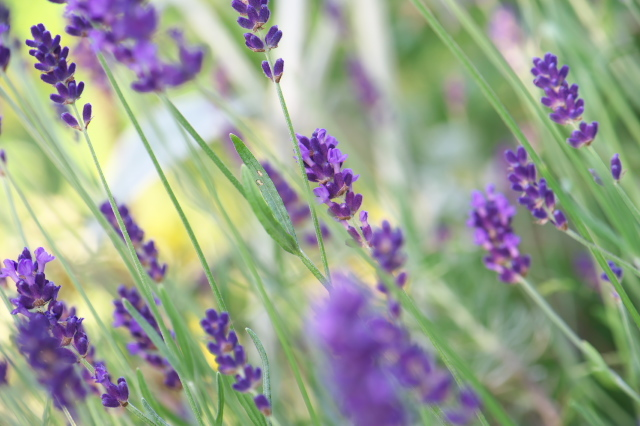 Lavandula angustifolia 'Long Purple'-02
