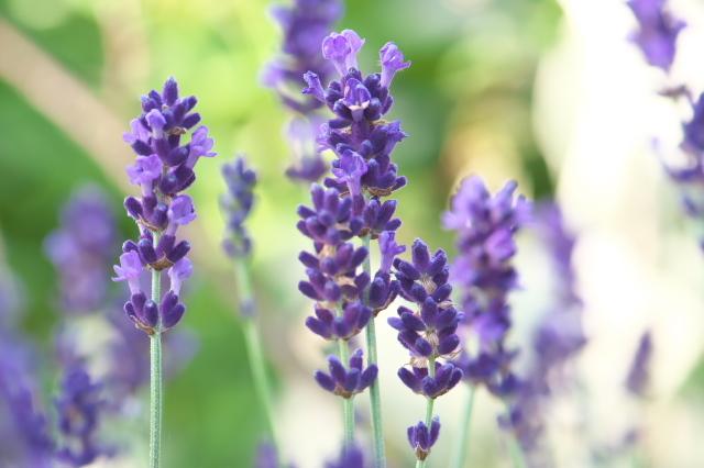Lavandula angustifolia 'Long Purple'-03