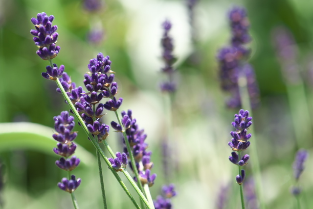 Lavandula angustifolia 'Long Purple'-05