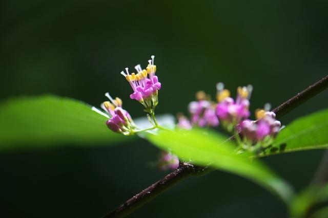 ムラサキシキブの小花たち-02
