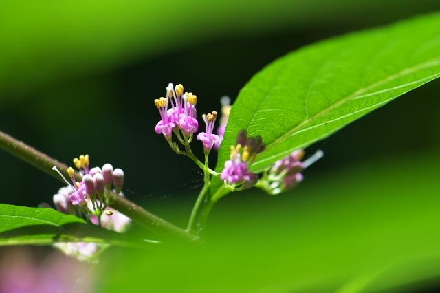 ムラサキシキブの小花たち-03