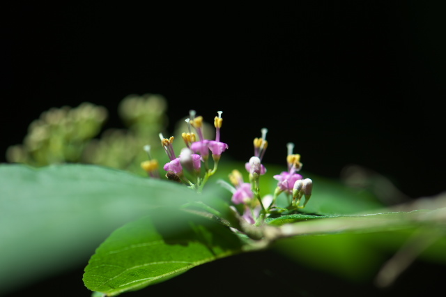 ムラサキシキブの小花たち-04