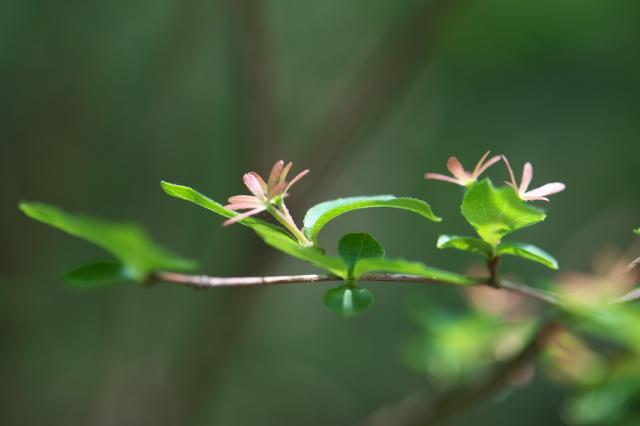 不明の落葉低木-03