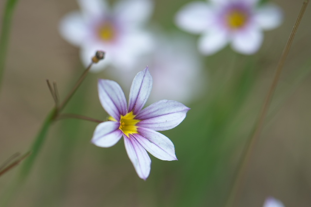 ニワゼキショウ(annual blue-eyed grass)-03