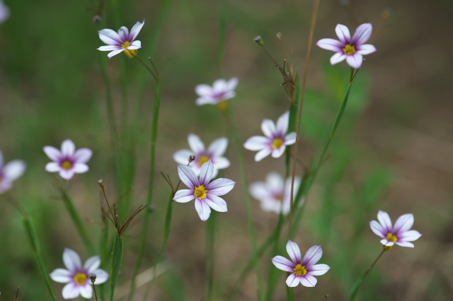 ニワゼキショウ(annual blue-eyed grass)-02