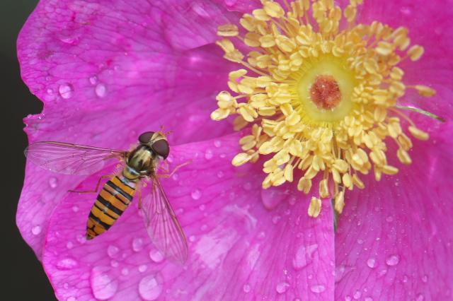 オオタカネバラ(Rosa acicularis)とヒラタアブ-03