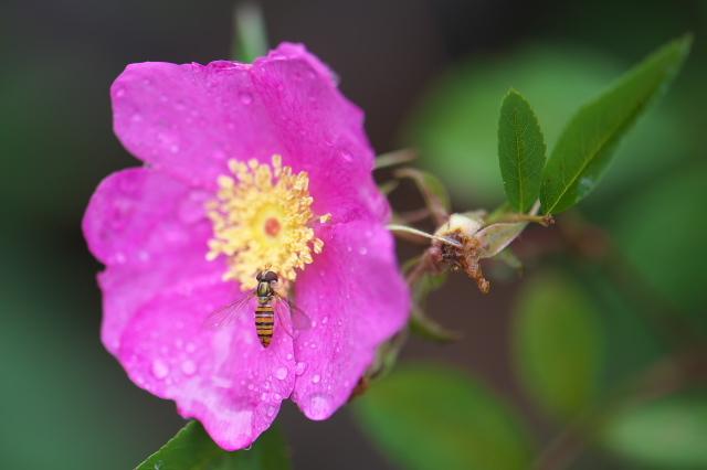 オオタカネバラ(Rosa acicularis)とヒラタアブ-01