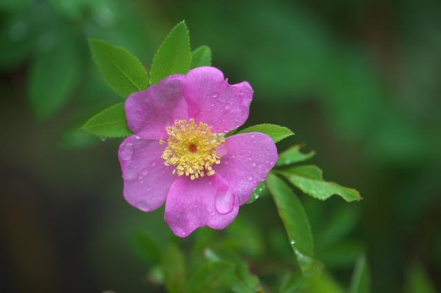 オオタカネバラ(Rosa acicularis)-01