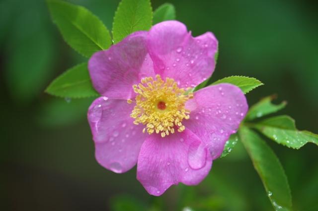 オオタカネバラ(Rosa acicularis)-02
