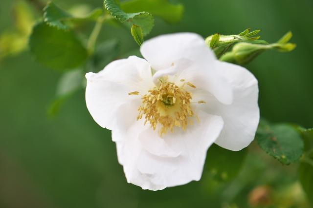 オオタカネバラの白花-01