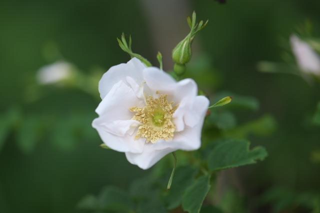 オオタカネバラの白花-02